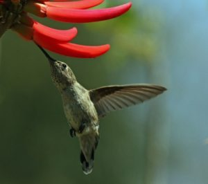 hummingbird-Michael Elliott-FreeDigitalPhotos-10095551